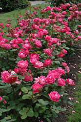 Double Knock Out® Rose (Rosa 'Radtko') at America's Best Flowers