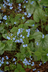 Alexander's Great Bugloss (Brunnera macrophylla 'Alexander's Great') at America's Best Flowers