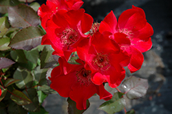 Screaming Neon Red™ Rose (Rosa 'BAIneon') at America's Best Flowers