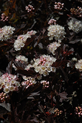 Tiny Wine® Ninebark (Physocarpus opulifolius 'SMPOTW') at America's Best Flowers