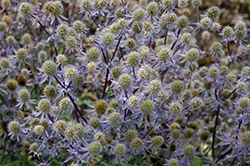 Blue Glitter Sea Holly (Eryngium planum 'Blue Glitter') at America's Best Flowers