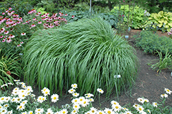 Red Head Fountain Grass (Pennisetum alopecuroides 'Red Head') at America's Best Flowers