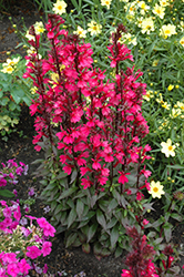 Starship Deep Rose Lobelia (Lobelia 'Starship Deep Rose') at America's Best Flowers