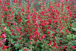 Summer Jewel Red Sage (Salvia 'Summer Jewel Red') at America's Best Flowers