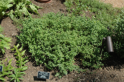 Greek Oregano (Origanum onites) at America's Best Flowers