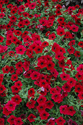 Tidal Wave Red Velour Petunia (Petunia 'Tidal Wave Red Velour') at America's Best Flowers