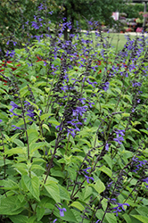 Black And Bloom Sage (Salvia guaranitica 'Black And Bloom') at America's Best Flowers