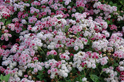 Cloud Nine Pink Flossflower (Ageratum 'Cloud Nine Pink') at America's Best Flowers