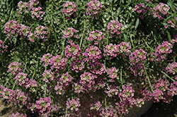 Raspberry Stream Sweet Alyssum (Lobularia maritima 'Raspberry Stream') at America's Best Flowers