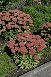 Autumn Fire Stonecrop (Sedum spectabile 'Autumn Fire') at America's Best Flowers