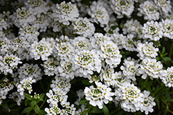 Snowflake Candytuft (Iberis sempervirens 'Snowflake') at America's Best Flowers