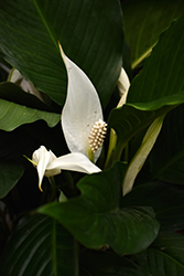 Peace Lily (Spathiphyllum wallisii) at America's Best Flowers