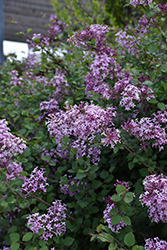 Bloomerang® Lilac (Syringa 'Bloomerang') at America's Best Flowers