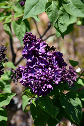 Agincourt Beauty Lilac (Syringa vulgaris 'Agincourt Beauty') at America's Best Flowers