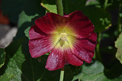 Halo Red Hollyhock (Alcea rosea 'Halo Red') at America's Best Flowers