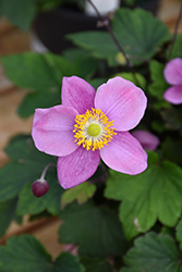 September Charm Anemone (Anemone x hybrida 'September Charm') at America's Best Flowers