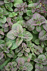 Oregano (Origanum vulgare) at America's Best Flowers