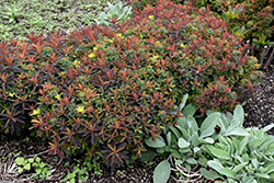 Bonfire Cushion Spurge (Euphorbia polychroma 'Bonfire') at America's Best Flowers