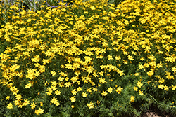 Golden Showers Tickseed (Coreopsis verticillata 'Golden Showers') at America's Best Flowers