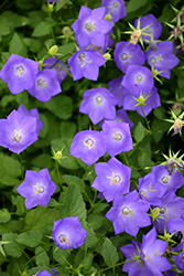 Blue Clips Bellflower (Campanula carpatica 'Blue Clips') at America's Best Flowers