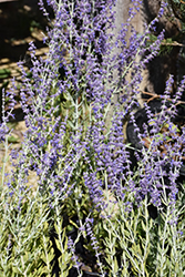 Little Spire Russian Sage (Perovskia 'Little Spire') at America's Best Flowers