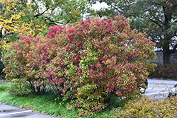 Autumn Jazz Viburnum (Viburnum dentatum 'Ralph Senior') at America's Best Flowers