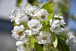 Parker Pear (Pyrus 'Parker') at America's Best Flowers