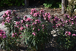 Coral Creme Drop™ Garden Phlox (Phlox paniculata 'Ditomdre') at America's Best Flowers